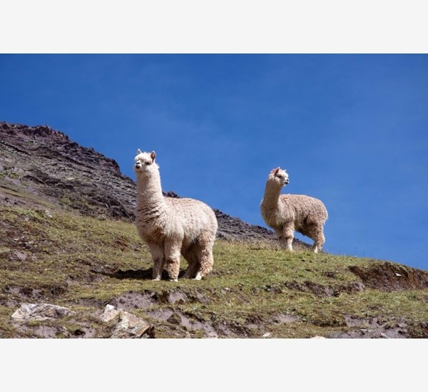 CAMELIDS ON ROUTE TO VINICUNCA
